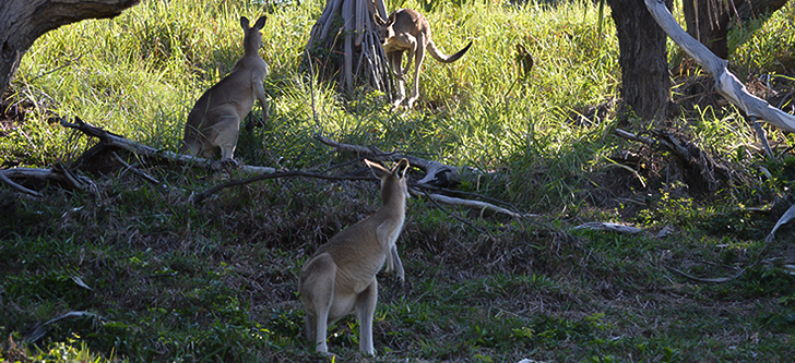 Kangaroos on Gorge Walk on Point Lookout